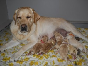 Future Leader Dogs -- Cici with litter